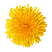 Bright beautiful yellow dandelion — Stock Photo