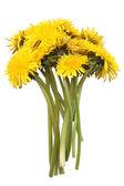 Bright yellow dandelions — Stock Photo