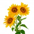 Three sunflower on white background — Stock Photo #12610479