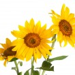 Three sunflower on white background — Stock Photo