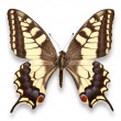 Butterfly, Yellow Spotted  — Stock Photo