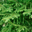 Stock Photo: Brightly green prickly branches of a fur-tree or pine