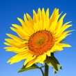 Sunflower — Stock Photo #12612022