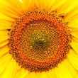 Sunflower background — Stock Photo #12612063