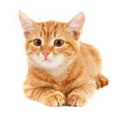 Red cat on a white background — Stock Photo