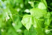 Folhas de uva verdes — Foto Stock