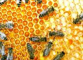 Pracovní včely — Stock fotografie