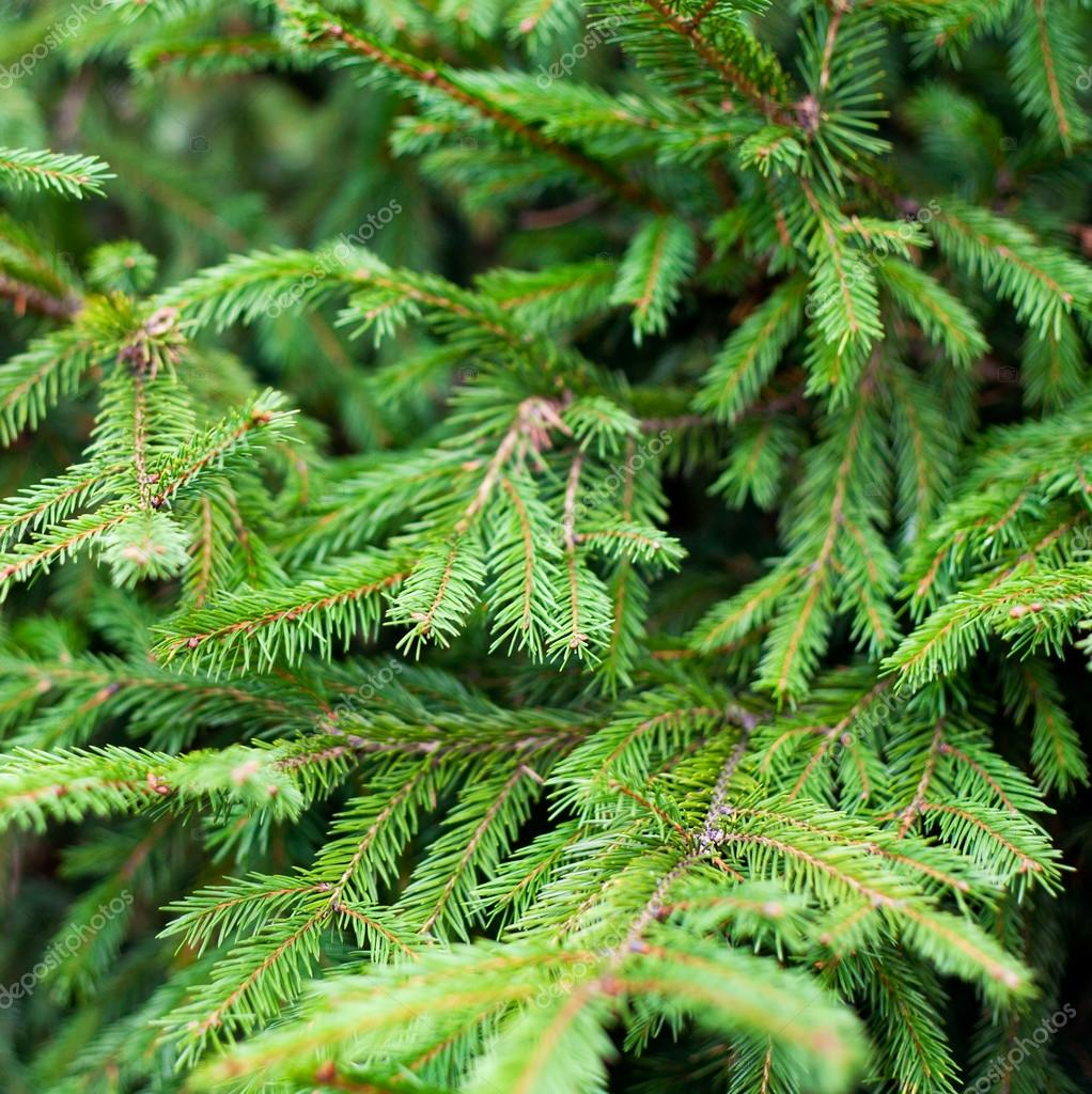 Brightly green prickly branches of a fur-tree or pine — Stock Photo #12610822