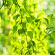 Green leaves, shallow focus — Stock Photo #13330775