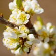 Plum-tree branch in bloom — Stock Photo