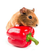 The guinea pig and a red pepper — Stock Photo