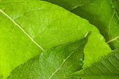 Fresh green leaves background — Stock Photo