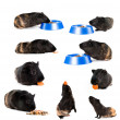 Set of guinea pigs — Stock Photo
