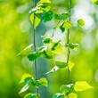 Green leaves, shallow focus — Stock Photo #20194619