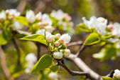 A blooming branch of apple tree in spring — Stock Photo