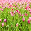 Tulips field in spring time — Stock Photo #21572457