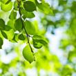 Green leaves, shallow focus — Stock Photo #21572719