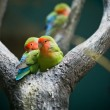 Rosy-faced Lovebirds — Stock Photo