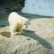 little Polar Bear - Ursus Maritimus  — 图库照片