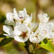 A blooming branch of apple tree — Foto de Stock