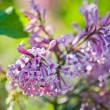 Fragrant lilac blossoms (Syringa vulgaris). — Stock Photo