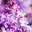 Fragrant lilac blossoms (Syringa vulgaris). Shallow depth of fie - Foto Stock