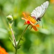 Geum. Beautiful red flowers and butterfly Aporia crataegi — Stock Photo #21573749