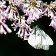 Fragrant lilac blossoms (Syringa vulgaris) and butterfly Aporia — Stock Photo