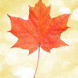 Leaf maple — Stock Photo