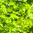 Green leaves, shallow focus — Stock Photo #21574085