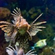 Lionfish (Pterois volitans) — Stock Photo