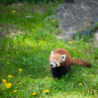 Stock Photo: Curious red panda