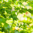 Green leaves, shallow focus — Stock Photo #21574599