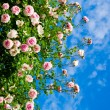 Roses against blue sky. — Stock Photo #21574755