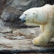 Polar Bear - Ursus maritimus — Stock Photo