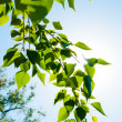 Green summer leaves and blue sky with sun — Foto de Stock