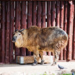 Sichuan Takin (Budorcas Taxicolor Tibetana) or Goat Antelope — Stock Photo
