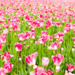 Tulips field in spring time — Stock Photo