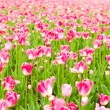 Tulips field in spring time — Stock Photo #21575091