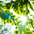 Green summer leaves and blue sky with sun — Stock Photo #21575147