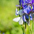 Iris and butterfly Aporia crataegi — Stock Photo