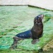 Northern fur seal (Callorhinus ursinus) in the water - Stock Photo
