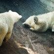 Two little Polar Bear - Ursus Maritimus — Stock Photo