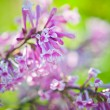 Fragrant lilac blossoms (Syringa vulgaris). - Foto Stock