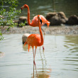 Pink flamingo — Stock Photo #21576427