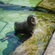 Northern fur seal (Callorhinus ursinus) in the water — Stock Photo