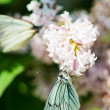 Fragrant lilac blossoms and butterfly Aporia crataegi - Foto Stock