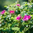 Dog-rose bush — Stock Photo