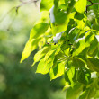 Green leaves, shallow focus — Stock Photo #21577209