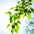 Green summer leaves and blue sky with sun — Foto Stock